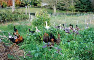 Pecati sa Eskimima ili pustiti kokoške u dvorište?